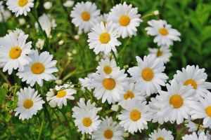 daisy-flower-spring-marguerite-67857.jpeg